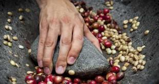 इसलिए ग्रीन कॉफी बीन्स में आम कॉफी के मुकाबले ज्यादा क्लोरोजेनिक एसिड होता है। कहा जाता है कि यह एसिड हेल्थ के लिये काफी अच्छा होता है। लोग ग्रीन कॉफी को मोटापे से लड़ने, डायबटीज, हाई बीपी, अलजाइमर और बैक्टीरियल इंफेक्शन से लड़ने में यूज करते हैं।